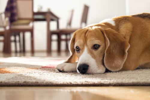 不安でずっと吠える、犬の分離不安を治す効果的な方法