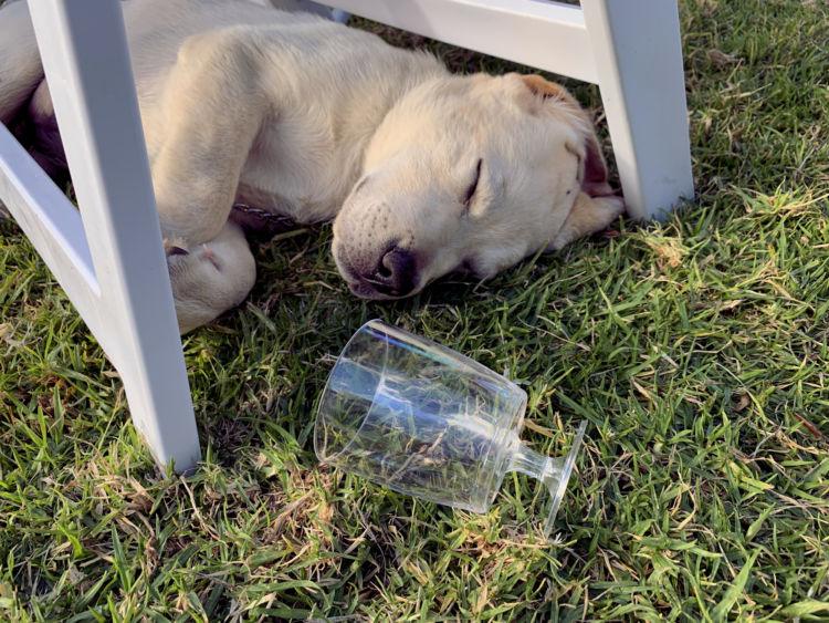 犬がアルコールを誤飲しまった場合の対処法と応急処置は?