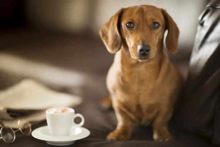 【獣医師監修】犬にコーヒーを少量でも飲ませてはダメ!カフェイン中毒に注意!致死量や対処法は?