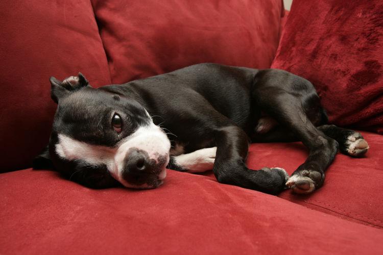 犬のカフェイン中毒、致死量はどのくらい?