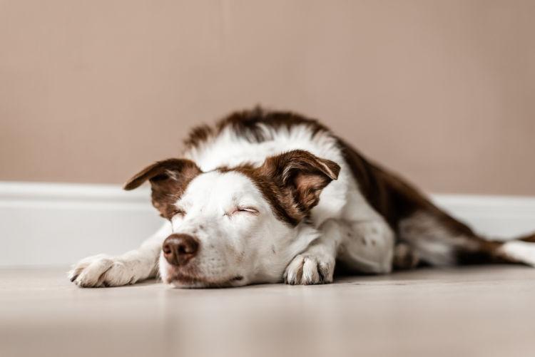 犬が焼酎を飲んでしまった場合の応急処置と対処法は?
