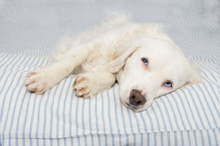 犬が「焼酎」を飲んでしまった場合の致死量は?(小型犬・中型犬・大型犬)