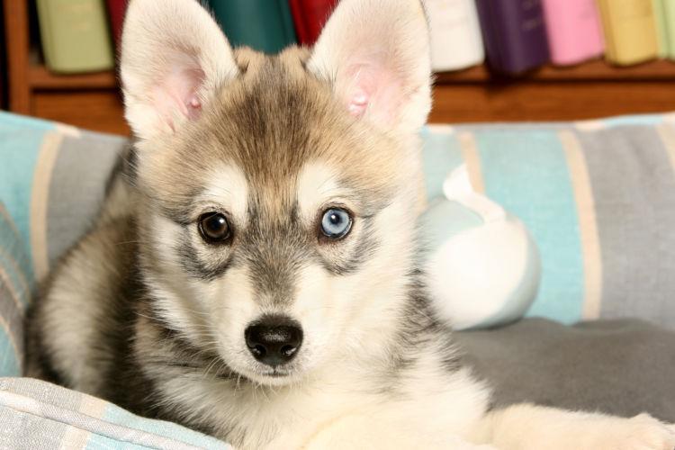 シベリアン・ハスキーの片目の色が違うのは病気?