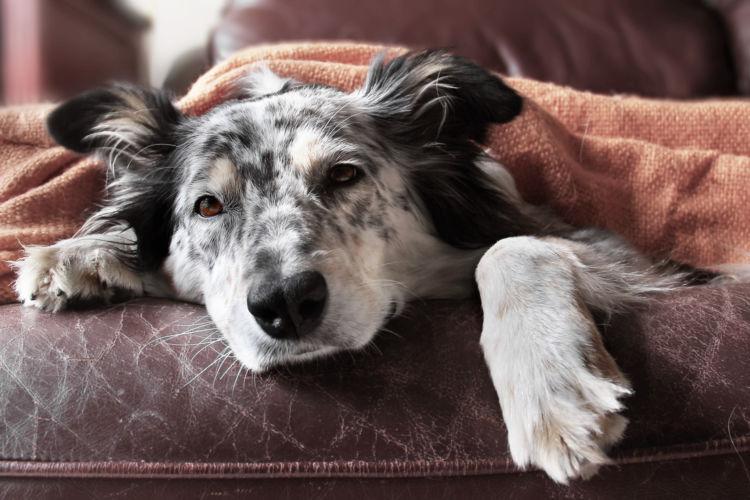 犬 急性膵炎 肥満犬