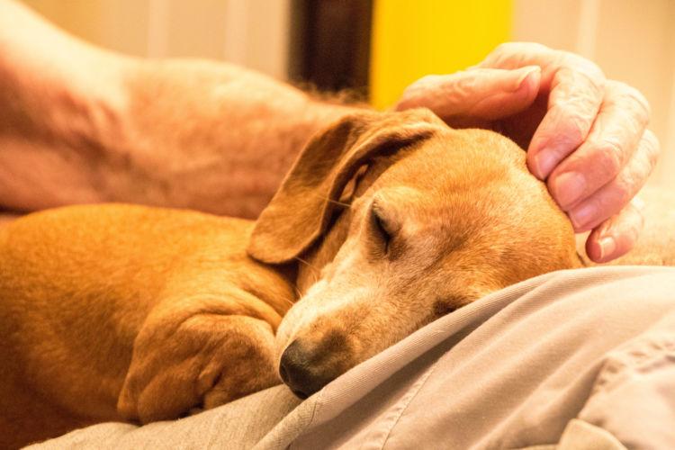 老犬の夜鳴き「原因・理由」①【認知症】