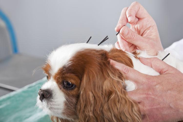 犬 認知症 鍼治療
