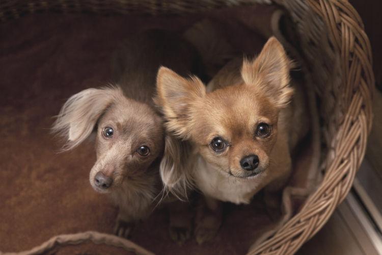 【獣医師監修】【小型犬の平均寿命】は何歳?小型犬は中型犬・大型犬より長生きなのは本当?