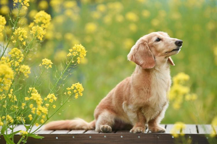 小型犬の平均寿命④【ミニチュア・ダックスフンド】
