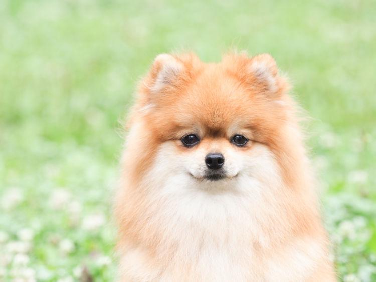 小型犬の平均寿命⑥【ポメラニアン】