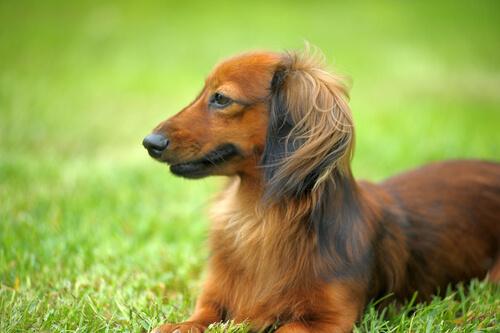 【獣医師監修】ダックスフンド(猟犬)の性格や種類(毛色)。歴史、寿命、主な病気は?