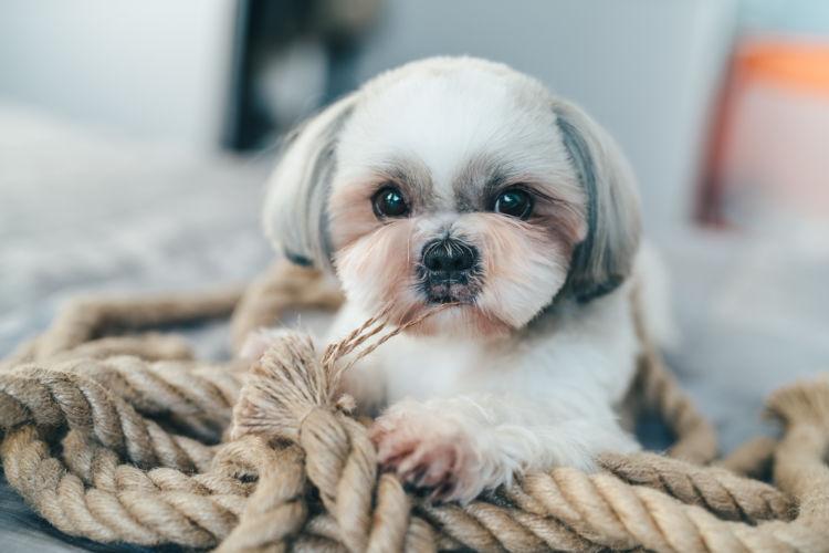 小型犬の平均寿命⑦【シー・ズー】