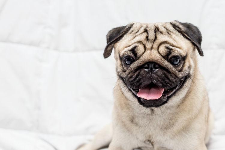 小型犬の平均寿命⑨【パグ】