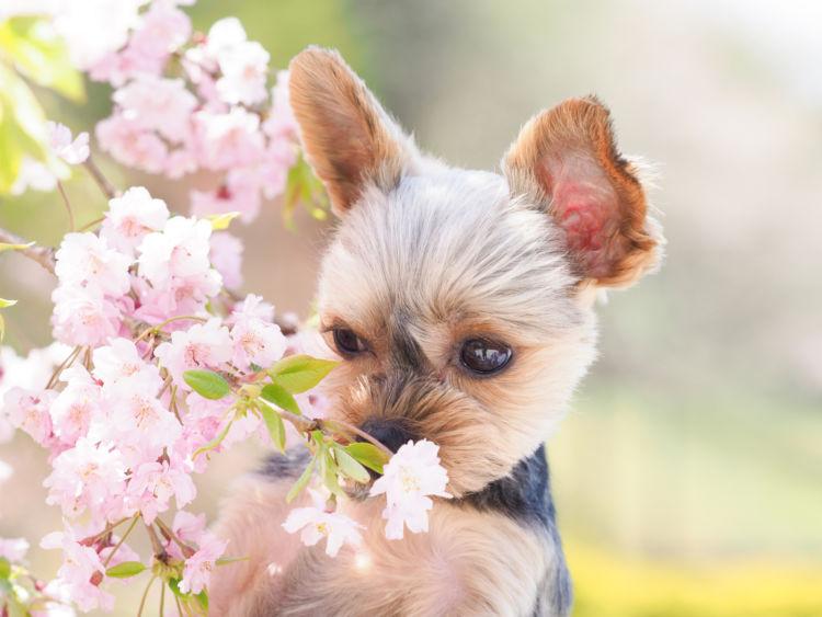 小型犬の平均寿命⑫【ヨークシャー・テリア】