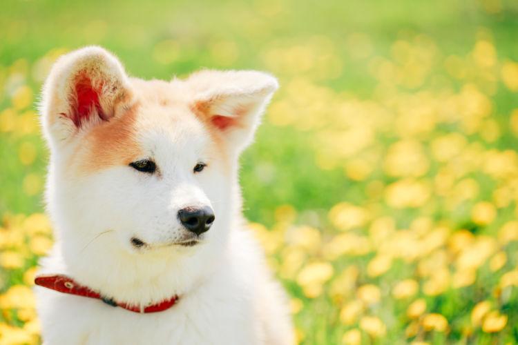 犬の寿命⑮【秋田犬】