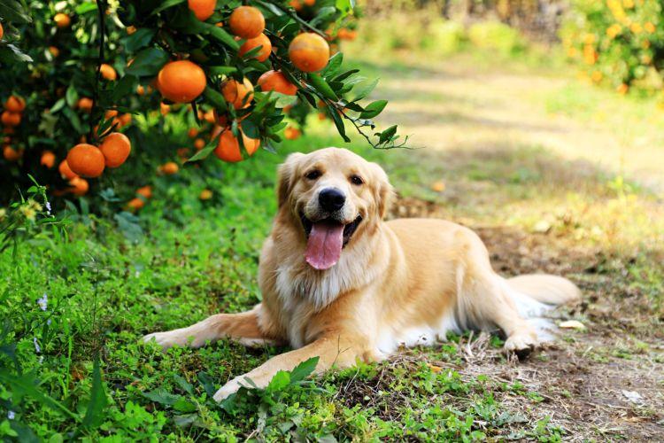 【獣医師監修】犬がみかんを食べても大丈夫?外皮は有害?缶詰、ゼリー、アイスは?下痢に注意!