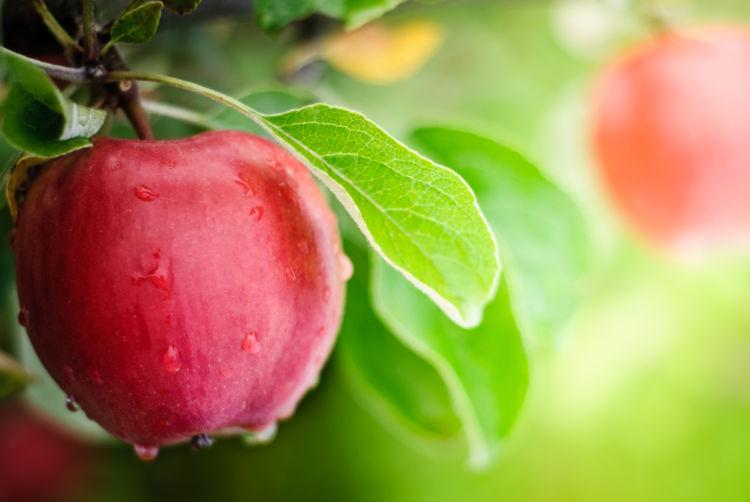 りんごを与える「メリット・効果」②【抗酸化作用のある成分が豊富】