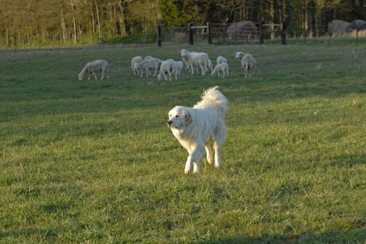 グレート・ピレニーズ 牧羊犬