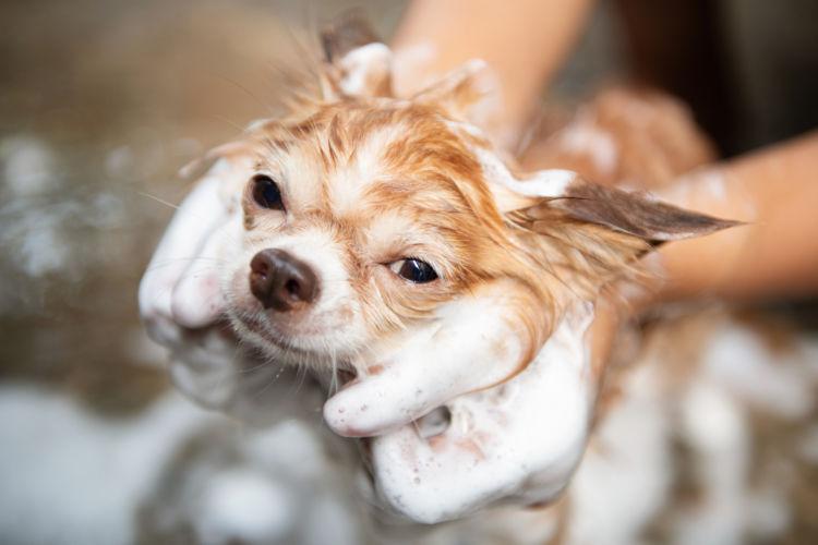 犬 アトピー性皮膚炎 シャンプー療法