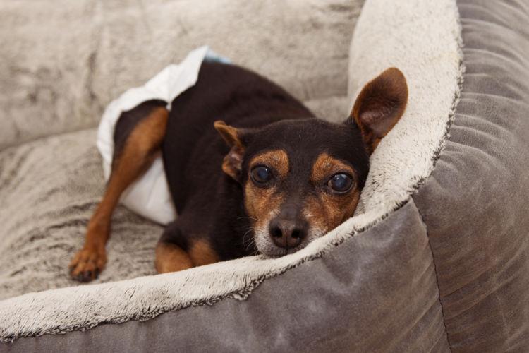 犬の生理(ヒート)時の対処法・注意点②【細菌感染に注意!】