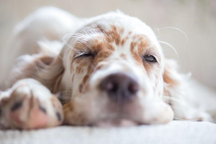 犬の「生理(ヒート)」偽妊娠とは?乳腺腫瘍・子宮蓄膿症に注意!