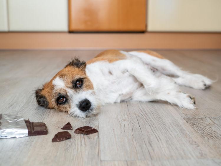 【獣医師監修】犬がチョコレートを食べたら死亡する?中毒症状や致死量、応急処置、対処法は?
