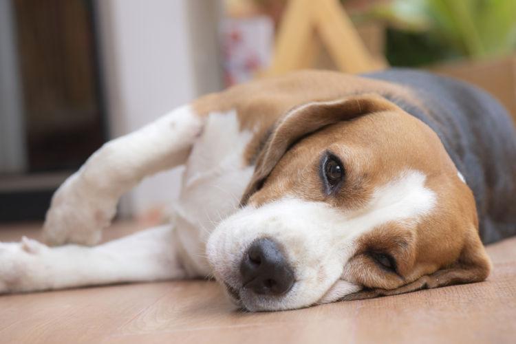 犬 チョコレート テオブロミン 中毒症状