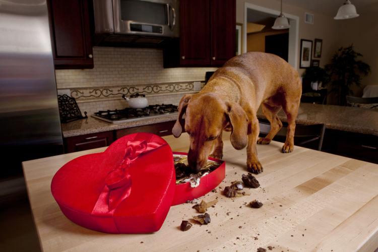 犬の「チョコレート」の誤食予防と注意点!