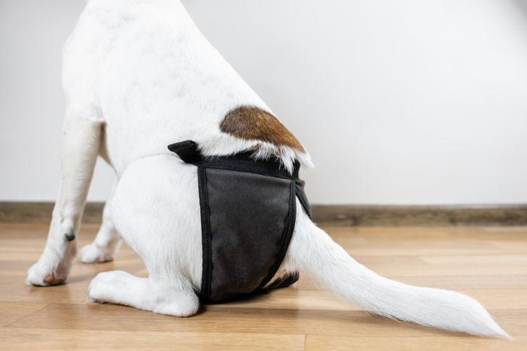 犬の「生理(ヒート)」の周期と発情出血の期間(日数)は?