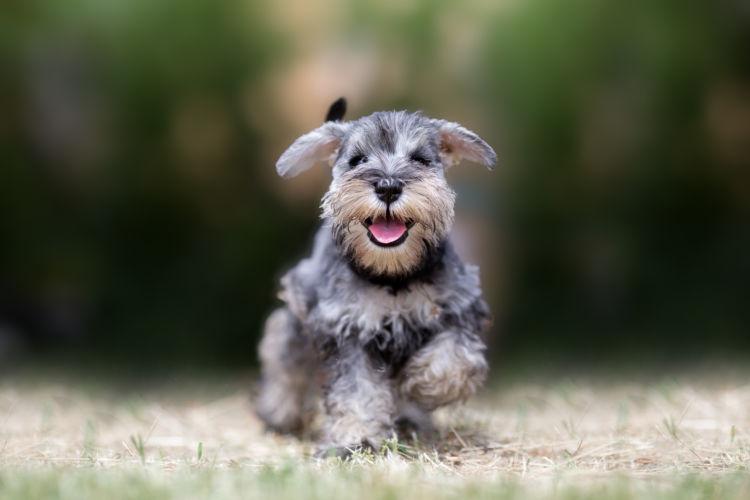 ミニチュアシュナウザーのトイレトレーニングの注意点②「子犬」と「成犬」、「オス」と「メス」の違い