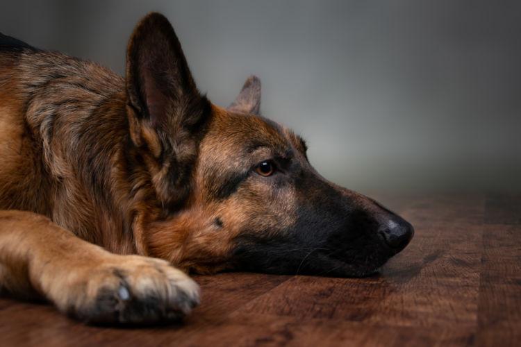 「老犬の震え(振戦)」予防・対策④【ストレス】