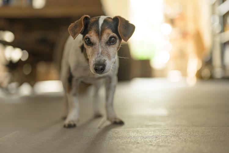 犬の【老衰】始まる年齢は?