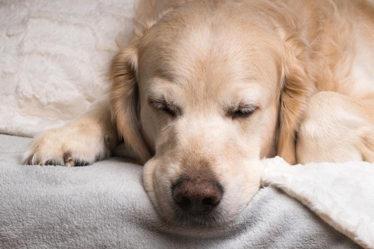 犬の老衰、予防・回復方法は?