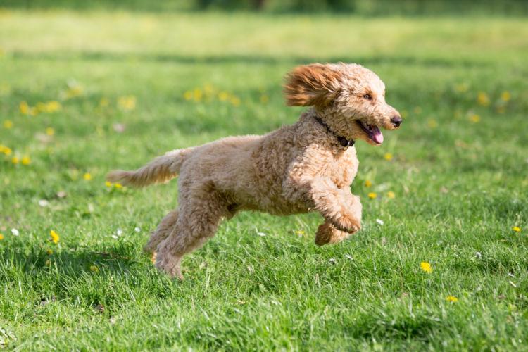 老犬の認知症「予防」②【適度な運動】