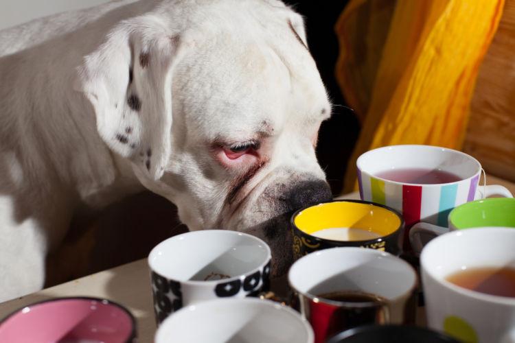 犬にカフェインが含まれているお茶を与えてはダメ!
