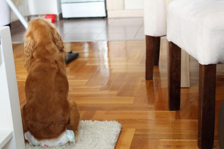犬 生理 ヒート 発情期