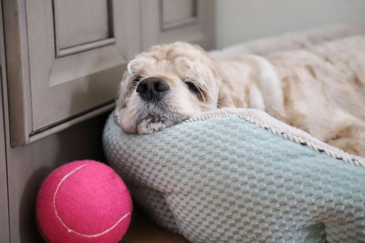老犬の痙攣(けいれん)【発症しやすい犬】