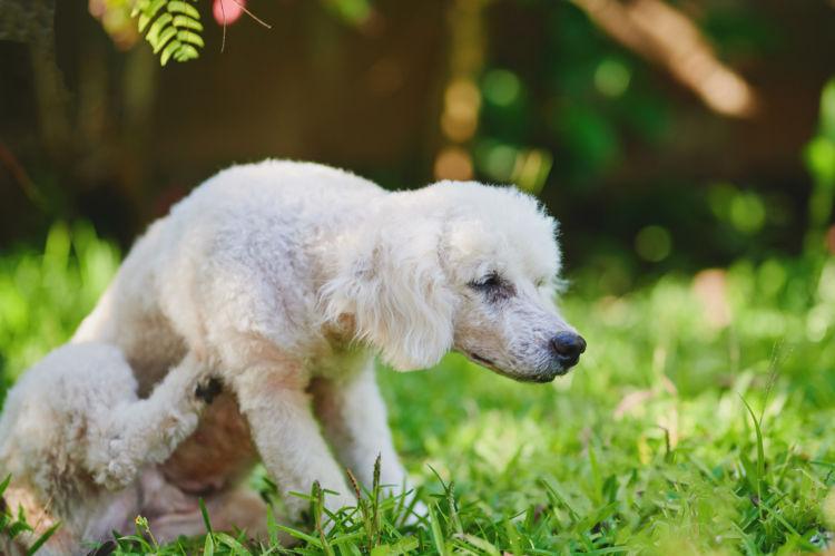 犬が「玉ねぎ」を誤飲した際のアレルギーや中毒症状は?