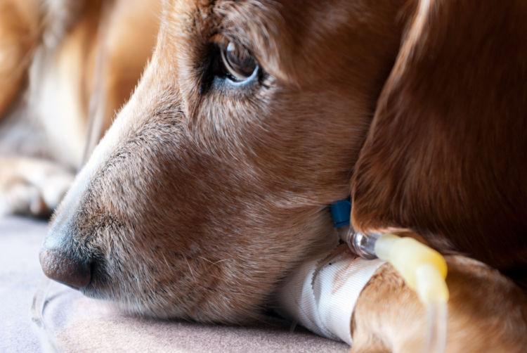 犬が「玉ねぎ」を誤飲した場合の治療法や治療費は?