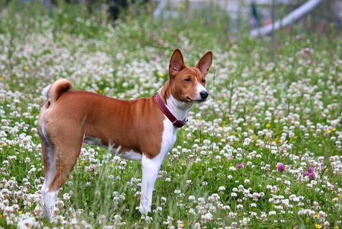 【獣医師監修】バセンジーの性格と不思議な特徴をチェック「ほえない古代犬?」