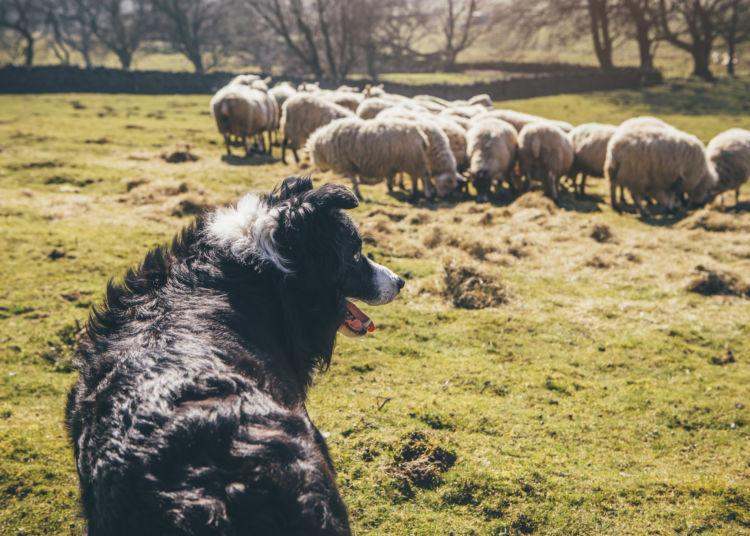ボーダー・コリー 牧羊 音