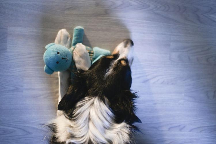 ボーダー・コリー おもちゃ 遊ぶ