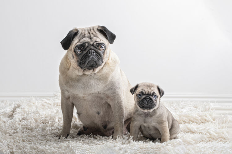 パグのトイレトレーニングの注意点②【「子犬」と「成犬」、「オス」と「メス」の違い】
