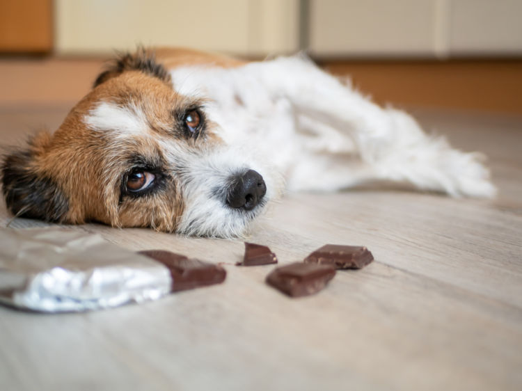犬に「チョコレート」を食べさせては絶対にダメ!