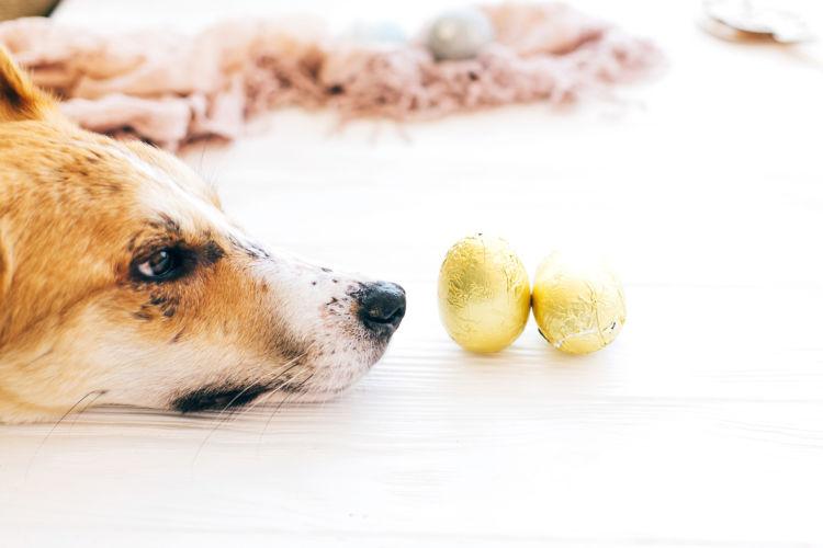 犬の「チョコレート」まとめ