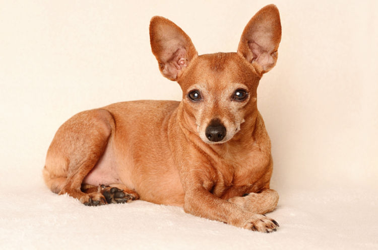 老犬(高齢犬)のミニチュア・ピンシャーとの生活の秘訣は?