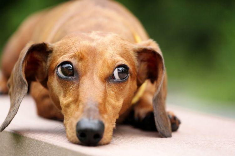 【獣医師監修】犬の耳が聞こえない、遠い(難聴)。考えられる原因や症状、主な病気は?