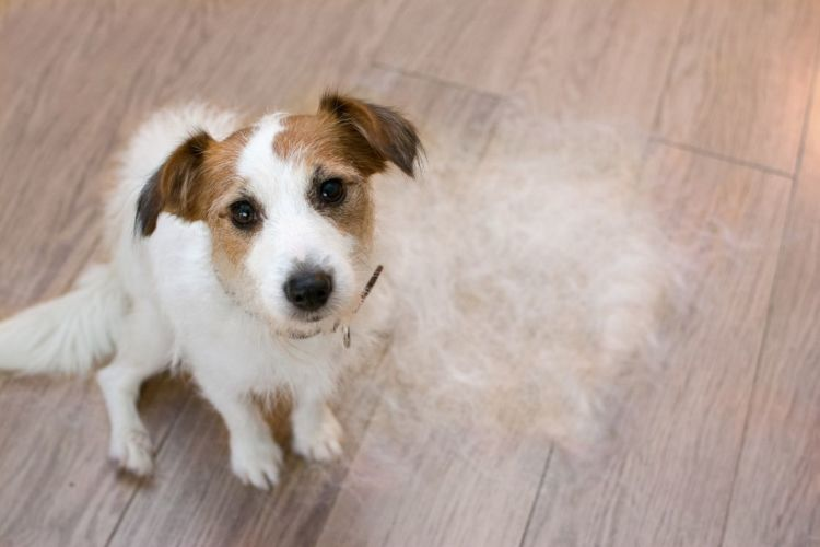 犬 耳が聞こえない 原因 脱毛