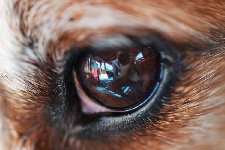 考えられる主な病気⑦【犬の緑内障】