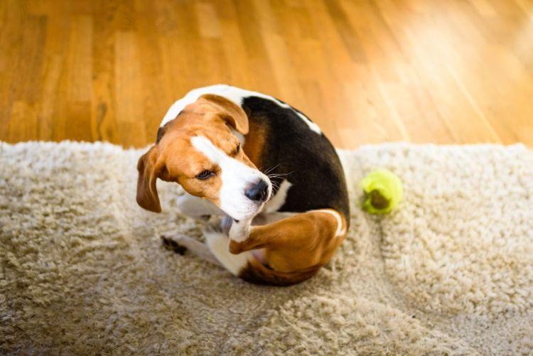 犬の耳(耳介)が赤い原因①【アレルギー反応】