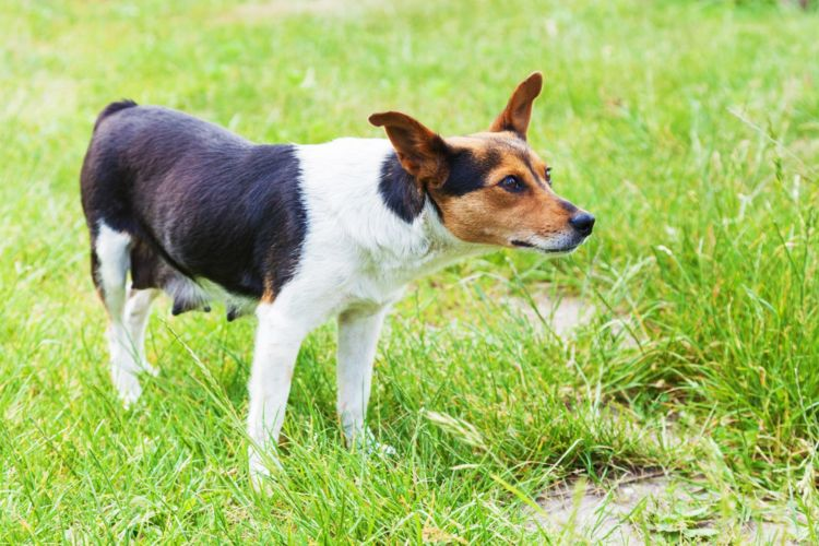 【獣医師監修】犬の乳首(乳腺)にしこり、腫れがある。考えられる原因や症状、おもな病気は?